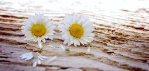 Bild mit Gänseblümchen für Startseite